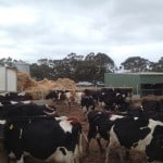 Cows in Holding Pen