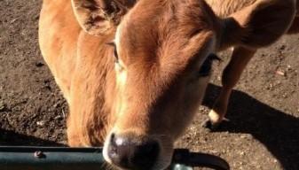 Calf at Feed Trough