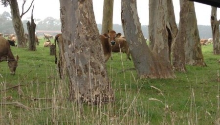 cows-in-paddock
