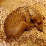 Dog in Sawdust