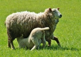 ewe-and-lamb-feeding