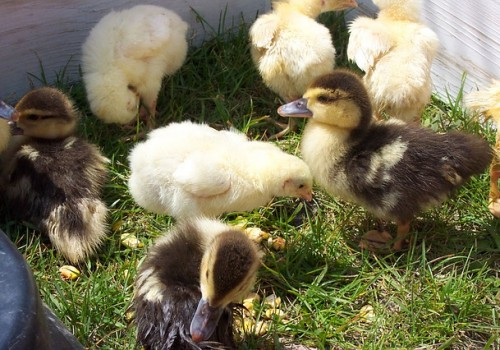 farm-ducklings-and-chicks