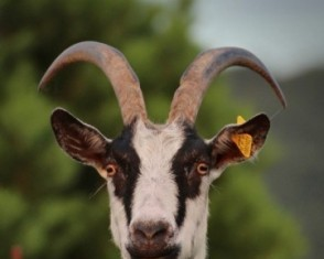 goat-at-fence
