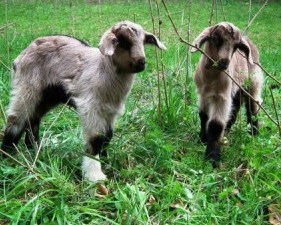 two-kid-goats