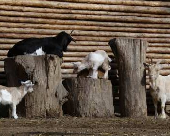 Goats Climbing Logs
