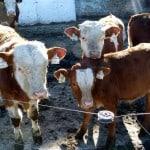 muddy-calf-legs