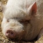 pig-sleeping-on-mulch