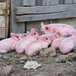 piglets-on-dirt