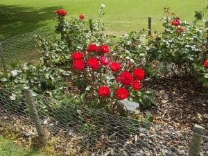 red-roses-growing-using-wood-chip-mulch