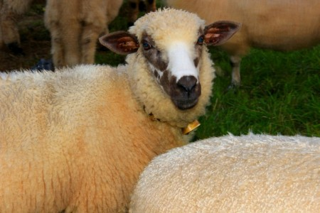 brown and white faced sheep