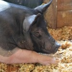 swine-on-wood-shavings