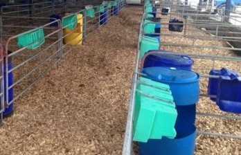 wood chips calf pens