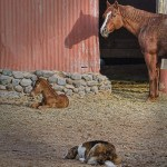 mare-and-foal-dog-keeping-watch