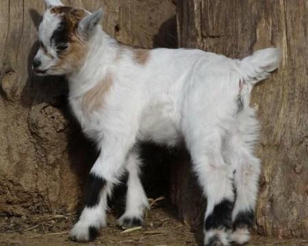 Baby-goat-kid