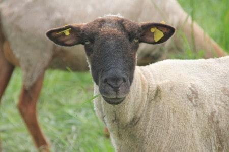 black-faced-sheep