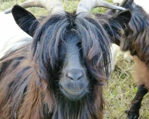 Black Long Haired Goat