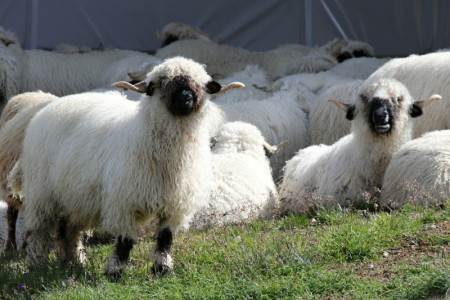 flock-of-sheep-resting