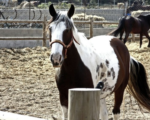 brown-and-white-horse-in-holding-pen-horse-photo-gallery