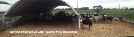 radiata-pine-wood-chips-in calving-shed