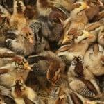 chicks-on-sawdust-floor