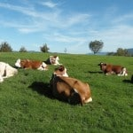 contented-cows-resting-in-paddock