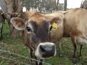 Cow-Face-offering-free-quotes