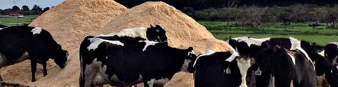 cows and sawdust piles