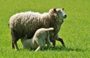 ewe-and-lamb-feeding