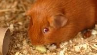 brown-guinea-pig