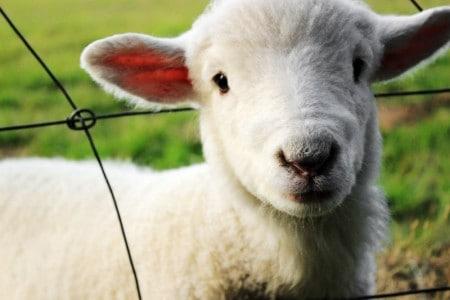 cute lamb in fence