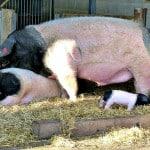one-pig-happy-family