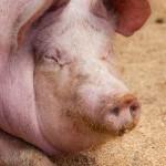 pig-in-sawdust