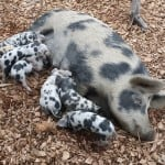 pig and piglets on wood chips