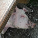 pig-sleeping
