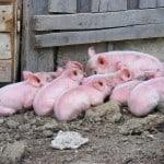 piglets-on-dirt