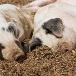 piglets-on-mulch