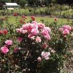pink-rose-lady-love-thrives-using-wood-chip- mulch