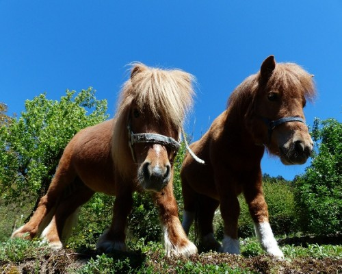 two-shetland-ponies-horse-photo-gallery