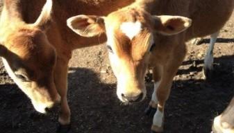 Two Cute Calves